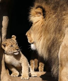 https://flic.kr/p/J7D6Bs | Admiring Dad | Sacramento Zoo - Sacramento, California - One of a litter of three lion cubs (Demarcus, Inara and Saphira) born at the Sacramento Zoo on 10/24/14 to first-time parents Cleo (Mom) and Kamau (Dad) is seen gazing adoringly at his or her father by the entrance into the lion exhibit. Kamau was born at the San Diego Zoo Safari Park in Escondido, California to Mina (Mom) and Izu (Dad) on 7/19/06 and moved to the Sacramento Zoo on 10/13/08. His…