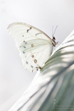 Fragile white butterfly.   Photograph Butterfly by Astrid Carnin on 500px