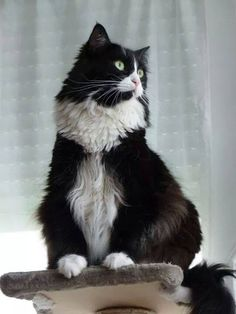 Perched above his domain, waiting to see how well trained his human is...clean litter box, feed me, massage me...