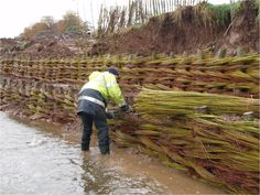 Living willow spiling on river Bollin