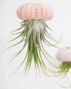 hanging Air Plant sea urchin par Balataterra sur Etsy