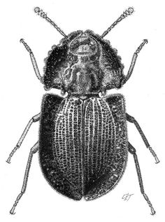 Aoupinia pseudohelea Matthews, 2003 [Coleoptera: Tenebrionidae] Ink on scraperboard by Geoff Thompson.