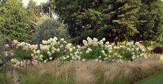 Rispenhortensie online kaufen   Hortensienträume