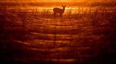 A doe is silhouetted by the setting sun in SieverIsdorf, eastern Germany, on Nov. 2. - Patrick Pleul/dpa via AP