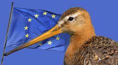 Godwit and EU flag. Tell the EU to prevent a Silent Spring! https://www.rainforest-rescue.org/petitions/1054/tell-the-eu-to-prevent-a-silent-spring?mtu=195880977&t=2151