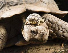 A 140-year-old tortoise wearing her 5-day-old son as a hat. - Imgur