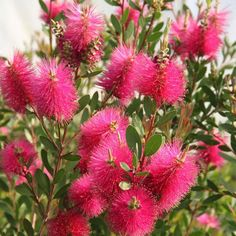 Callistemon viminalis Hot Pink – Rince bouteille à goupillons rose fuchsia Rose Fuchsia, Garden Theme, Hot Pink, Rose Bonbon, Branches, Bronze, Culture, Products, Gardens