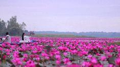 Red Lotus Sea, Udon Thani Thailand