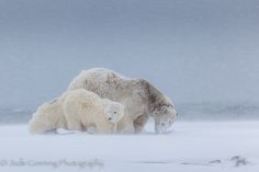 This mother bear was looking for a suitable spot to feed her cubs. She eventually dug through the snow and settled down.