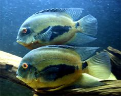 Uaru Cichlid,Uaru amphiacanthoidesSpecies Profile, Uaru Cichlid Care Instructions, Uaru Cichlid Feeding and more.::Aquarium Domain.com