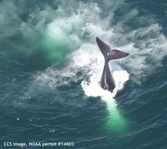 Right whales make strong winter showing in Provincetown