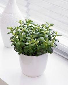 Rahapuu Indoor Cactus Plants, Bonsai Plants, Hanging Plants, Conservatory Plants, Money Plant, Miniature Trees, Office Plants, Bathroom Plants, Hardy Plants