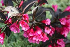 Delightful shrub ...sorts of Weigelas. If you are interested in buying one of these versatile shrubs, here are some great options to look out for next time you are at your local garden centre. Weigela &lsquo
