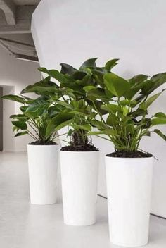 Nowadays indoor plants are widely used to decorate interior spaces of residential and commercial buildings.