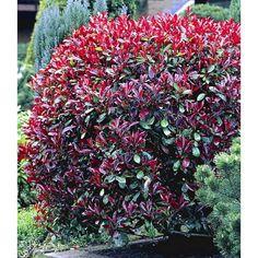 Photinia-Hecke 'Red Robin', 1 Pflanze - BALDUR-Garten GmbH