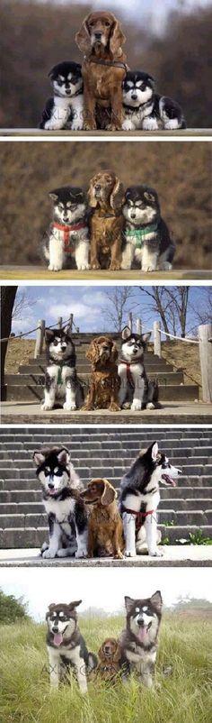 Um cão pequeno, marrom com dois filhotes husky recebendo seus retratos em conjunto ao longo do tempo