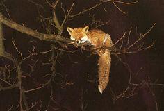 Fox in a tree.