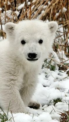 bear, polar bear, cub, snow, grass, fear