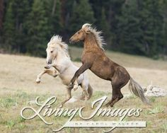 Wild Horses Mustangs In Pryor Mountains Mt Palomino And Red Palomino Stallions Posture Cloud And Bolder Horses Wild Horses Beautiful Horses