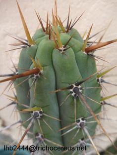 Trichocereus Puquiensis - http://trichocereus.org/trichocereus-puquiensis/