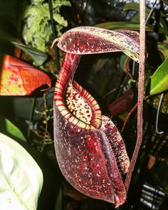 my largest rafflesiana pitcher from @california_carnivores . #californiacarnivores #carnivorousplantsociety #nepenthes #tropicalpitcherplant #pitcherplant #rafflesiana #carnivorousplant #carnivoroustagram #nature #plantagram #instaplant #botany #botanical #blackmagic #naturalgeometry #sacredgeometry #mystic #plantnerd #plantporn #horticulture #vscocam #vscogood by carnivorousplantsociety