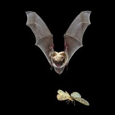 Little bat going for his dinner. Beautiful Creatures, Animals Beautiful, Cute Animals, Bat Photos, Bat Flying, Fruit Bat, Cute Bat, Little Dragon, Creatures Of The Night