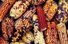 90.4% de tortillas en México contiene maíz transgénico