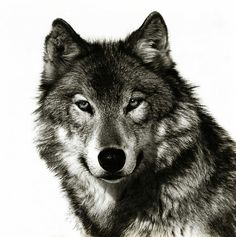 Sooooo Beautiful . Wolf .