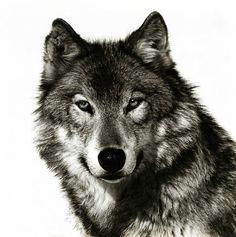 Sooooo Beautiful . Wolf .