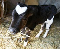 Farmer Presents Baby Ox With Heart-Shaped Marking Ahead of Valentine's Day