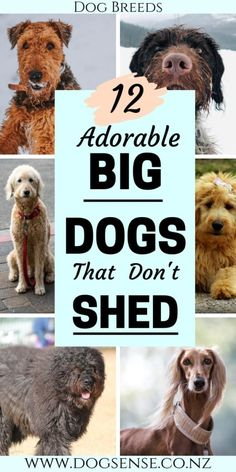 12 Gorgeous Big Dogs That Won't Cover you in Gorgeous Big Dogs That Won't Cover you in Hair Dog breeds. Big dogs that don't shed. 12 gentle giant beautiful teddy bears that won't leave you home looking like a fur ball! Non Shedding Dog Breeds, Low Shedding Dogs, Fluffy Dog Breeds, Big Fluffy Dogs, Giant Dog Breeds, Puppy Breeds, Best Big Dog Breeds, Best Big Dogs, Dog Breeds That Dont Shed