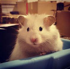 Bear Hamster, Hamster Treats, Gerbil, Pets 3, Pet Dogs, Dog Cat, Like Animals, Cute Funny Animals, Funny Dog Videos