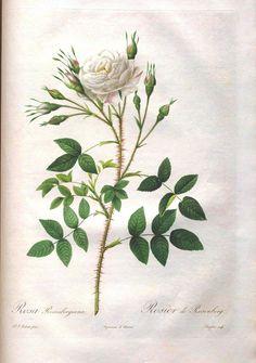Botanical - Flower - Les Roses 42