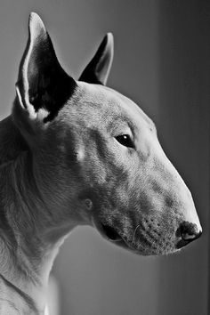 I accept the fact that I may be more insane than I initially imagined, because I totally think this English Bull Terrier looks a bit like Sir Patrick Stewart. Both very handsome in my book, mind you. -Heather Legge-Click