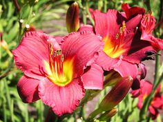 Tons and tons of different varieties of day lilies in my garden. I love the brilliance of the garden!
