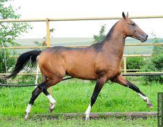 Akhal-teke horses for sale -   Agraf-dag(Gadjar - Aita)