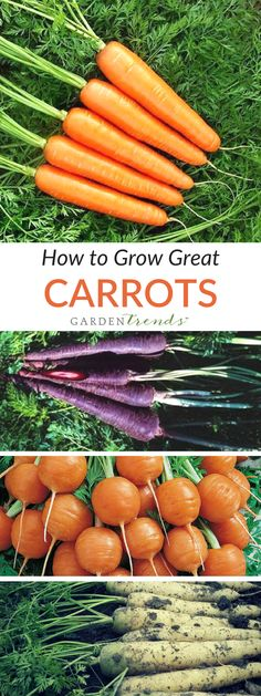 A stone-free sandy loam is best for carrots. Raised beds with minimal compaction work well, also. Where soil is more firm or clay-like, the shorter varieties are advisable. Germination takes 2-3 weeks and early growth is slow. Seed is very fine, so thinning will need to be done. Click here to read more carrot growing tips! #gardentrends #carrots #vegetablegarden #growyourown