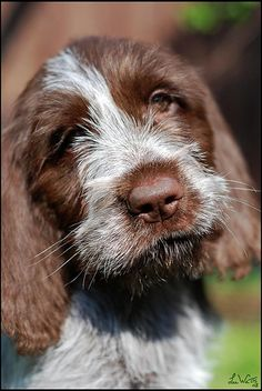 Spinone Italiano love He's just a puppy