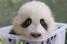 Panda eyes-a touch of white edge. Curious hesitant?