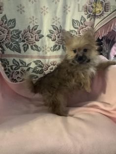 Pee Wee - Yorkie-Pom Puppy for Sale in Athens, WI   Lancaster Puppies Morkies For Sale, Yorkie Dogs For Sale, Lancaster Puppies, Cute, Kawaii