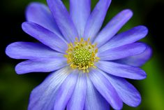 Grecian-Wind-Flower [Anemone blanda] - Flickr - Photo Sharing!
