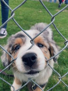 My future baby - Cute Animals - Perros Graciosos Cute Little Puppies, Cute Little Animals, Cute Dogs And Puppies, Cute Funny Animals, Doggies, Aussie Puppies, Funny Dogs, Cute Puppy Pics, Havanese Puppies