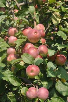 Liberty Apple tree...no need to spray and best to plant with another apple tree, like honeycrisp