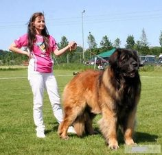 World's Largest Dog Breeds - Huge Dog Breed Names with Pictures Giant Dog Breeds, Giant Dogs, Large Dog Breeds, Leonburger Dog, Pet Dogs, Dogs And Puppies, Huge Dogs, I Love Dogs, Worlds Largest Dog