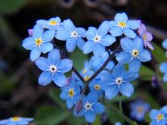 Forget-me-not Plant Myosotis is a genus of flowering plants in the family Boraginaceae that are commonly called forget-me-nots. Its common name was calqued from the French, ne m'oubliez pas and first used in English in c. 1532. Wikipedia