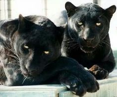Live my black Panthers