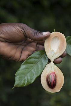 Nutmeg: by Wanderer and Wonderer, via Flickr in Zanzibar