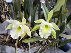 Rhyncholaelia 'aristocrat'; a hybrid of two fragrant orchids, Rl glauca and Rl digbyana; Long lasting slightly frilled flowers are fragrant at night. Flower mid winter/spring.