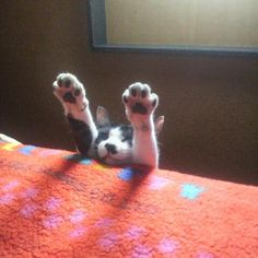 Ola.... the paws... can they BE any cuter? Love the contrast between the black pads and white fur....