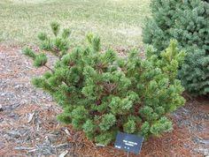 Hagoromo Pinus parviflora